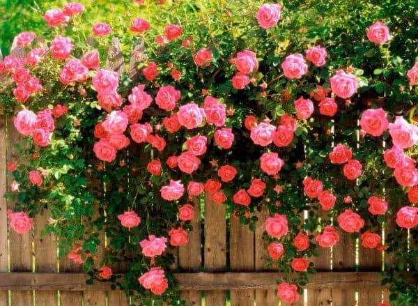 pletistye rozy