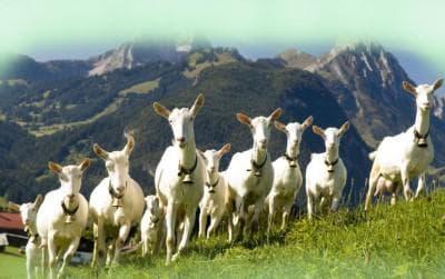 Зааненские козы описание породы особенности ухода