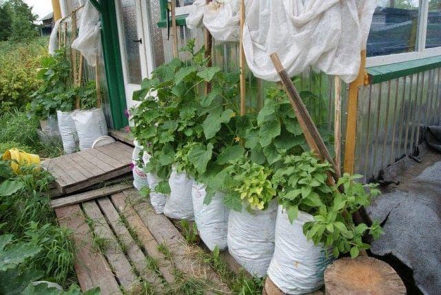 Агроном: Экономим пространство – выращиваем огурцы в мешках в 2019 году