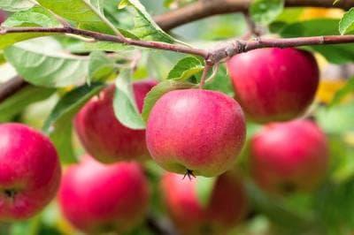Как вырастить яблоню из семечка инструкция посадка уход