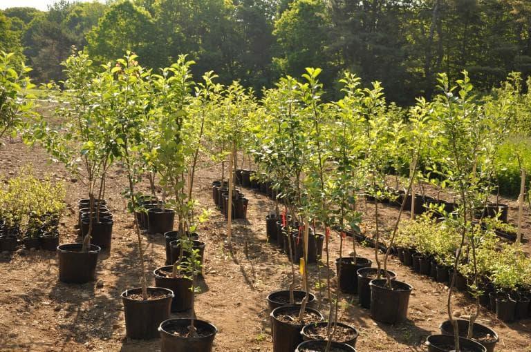 Яблони закрытой корневой системой: преимущества, недостатки, способ посадки