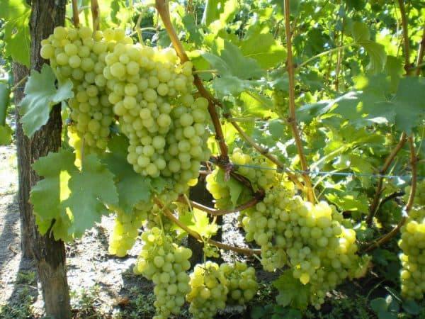 vinograd-koroleva-vinogradnikov