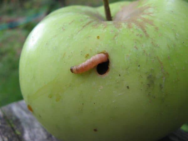 yablonnaya plodozhorka