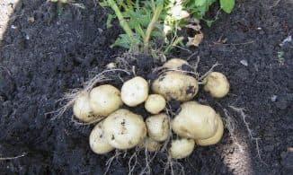 virashivaniye kartofelya
