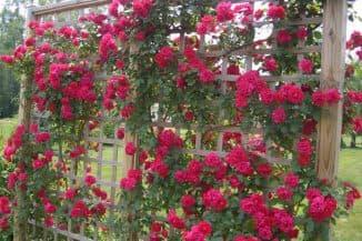 virashivaniye pletistyh roz