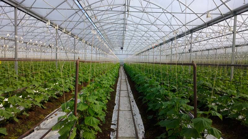 Уход за огурцами в теплице: от посадки до урожая