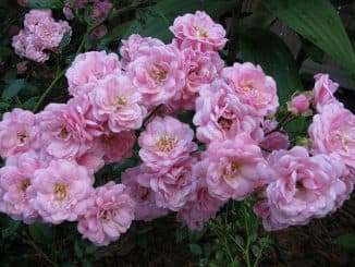 tsvety polyantovie rozy