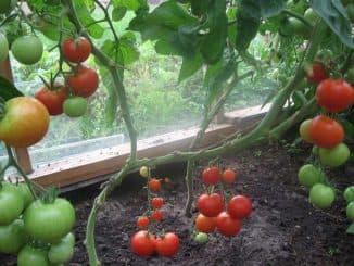 virashivaniye tomatov v parnike