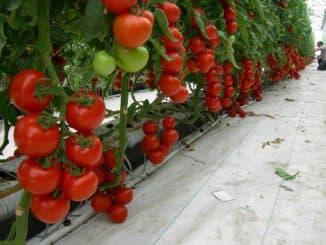 pomidory v teplitse