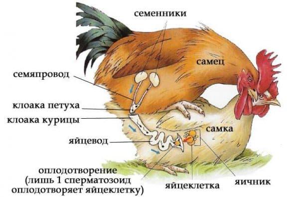 может ли курица нестись без петуха