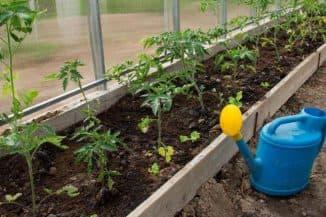 pomidory v teplitse iz polikarbonata