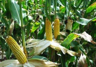 virashivaniye kukuruzy