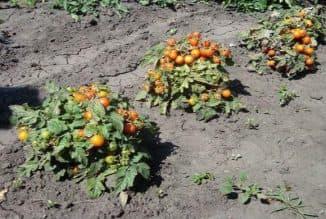 pomidory v otkritom grunte