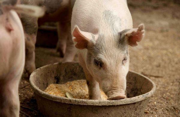 Откорм свиней Ландрас Дюрок в домашних условиях на мясо и сало