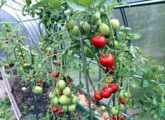 teplichnye pomidory