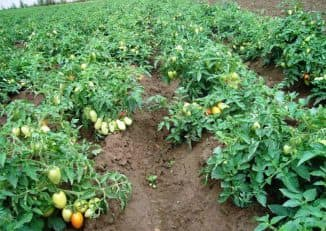 vyracshivanie pоmidorov