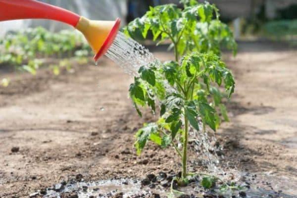 posadka pomidor