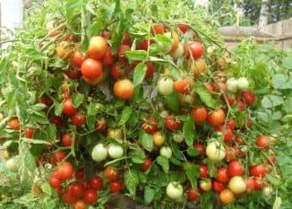 samoopilyaemye pomidory