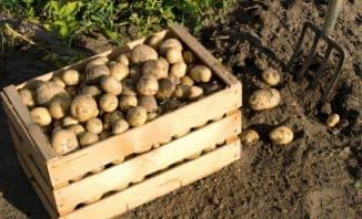 virashivaniye kertofelya v peshyanoy pochve